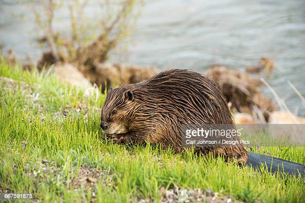 A beaver grazes along the roadside in Yellowstone National Park
