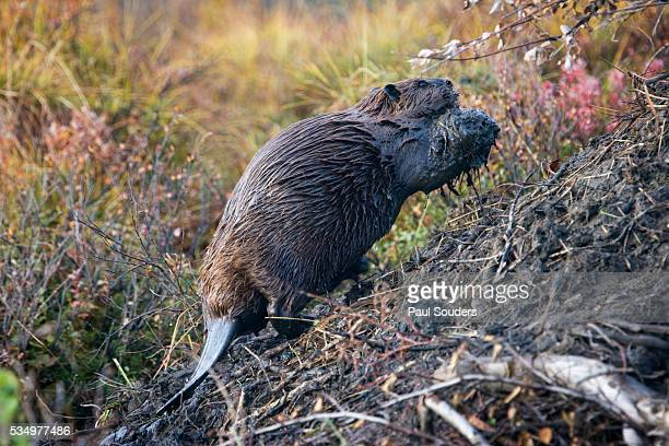 beaver in denali national park - beaver stock pictures, royalty-free photos & images