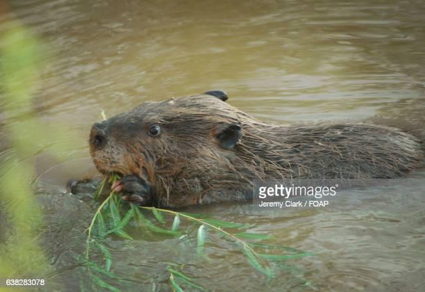 Beaver in river