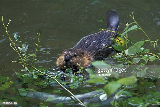 Beaver in the river
