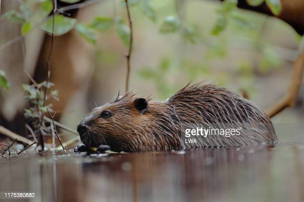 beaver in water - beaver stock pictures, royalty-free photos & images