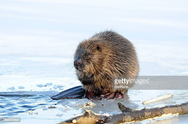 A beaver out of water sitting beside a log