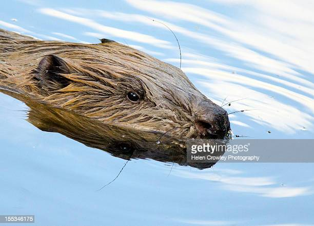 beaver - beaver stock pictures, royalty-free photos & images