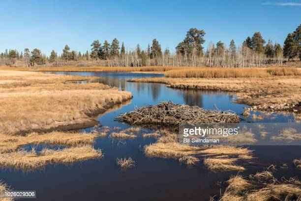 beaver pond in the high country west of zion national park along kolob terrace road - beaver dam stock pictures, royalty-free photos & images