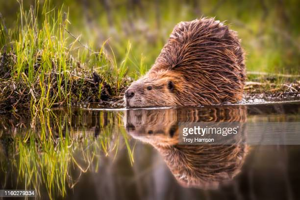 beaver reflection - beaver stock pictures, royalty-free photos & images