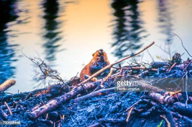 Beaver showing bright orange teeth , Yukon, Canada