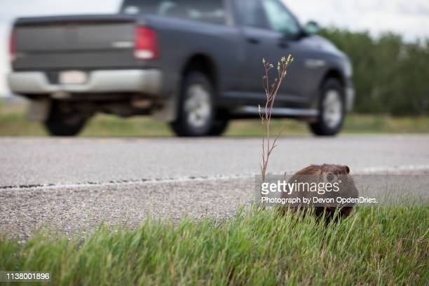 beaver sits near busy highway - beaver stock pictures, royalty-free photos & images