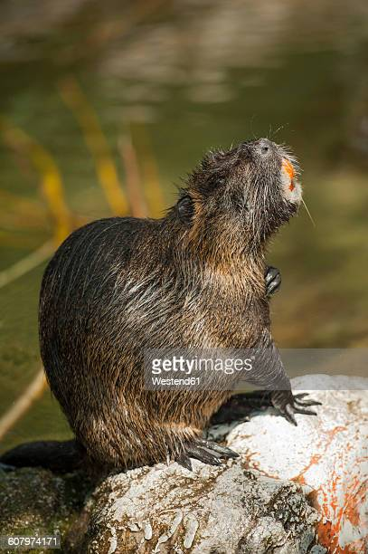 beaver sitting on stone - beaver stock photos and pictures