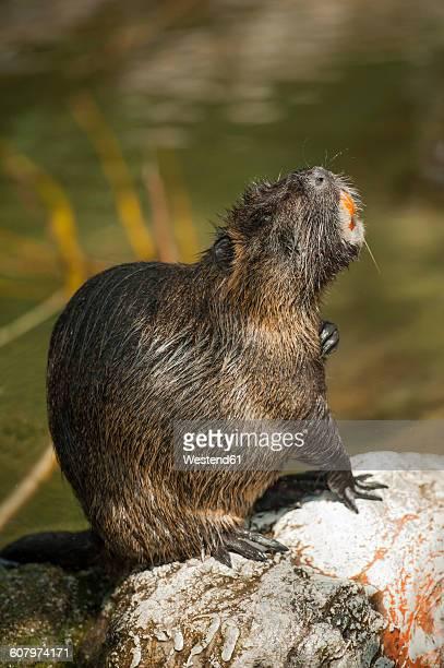 Beaver sitting on stone