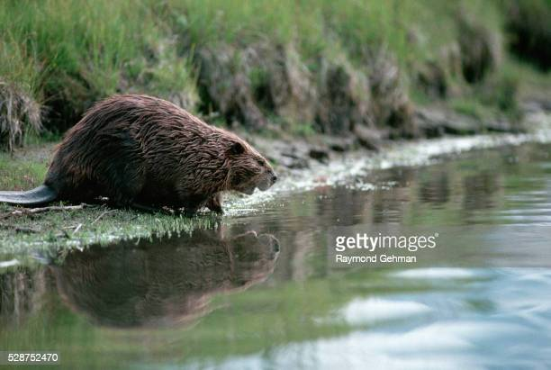 beaver standing at water's edge - beaver stock pictures, royalty-free photos & images