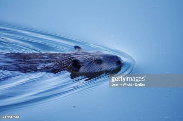 Beaver Swimming In Sea