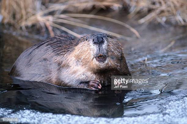 Beaver swimming in water. Castor canadensis. Grand Teton National Park, Wyoming.