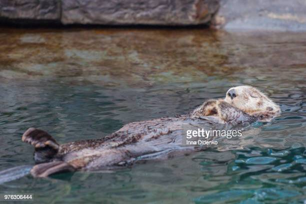 beaver swimming on back - beaver stock pictures, royalty-free photos & images