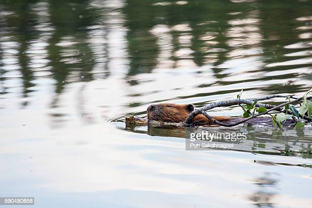 Beaver Swimming while Dragging Branch