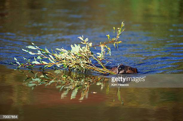 Beaver (Castor canadensis) swimming with willow branch, Alaska, USA