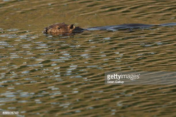 CHORNOBYL' UKRAINE AUGUST 19 A beaver swims in a former cooling water pond inside the exclusion zone near the Chernobyl nuclear power plant on August...