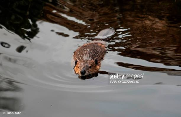 A beaver swims in the forest near Puerto Williams Chile on February 05 2020 With sharp teeth and surprising abilities for construction the North...