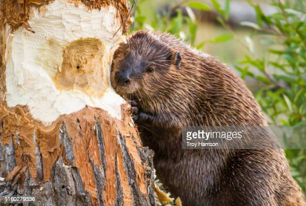 beaver taking down tree - beaver stock pictures, royalty-free photos & images