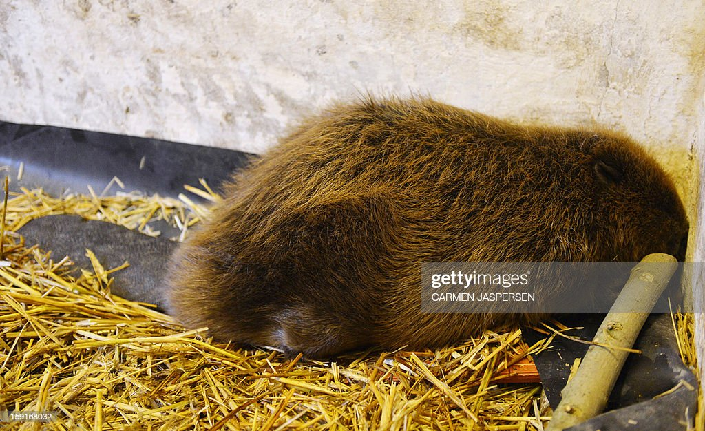 A beaver that was found at the river Weser sits in a wildlife breeding station in Rastede, northern Germany, on January 9, 2013. Around 14000 beaver live in Germany.