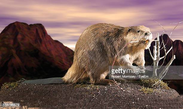 beaver with stick in mouth against sky - beaver stock photos and pictures