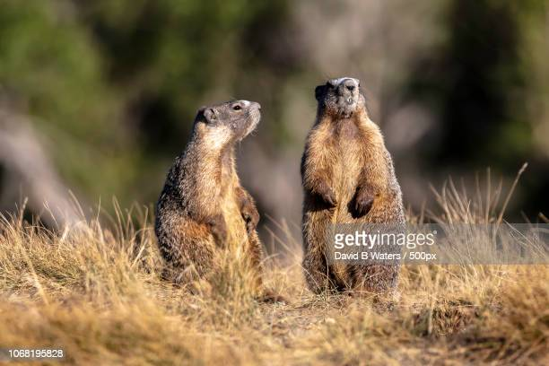 beavers sitting on grass - beaver stock pictures, royalty-free photos & images