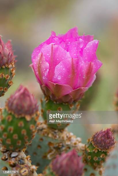 Beavertail Cactus (Opuntia basilaris) flowers, Sonoran Desert, Anza-Borrego State Park, California, USA
