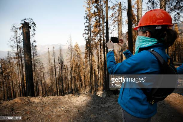 Becky Bremser, Director of Land Protection for Save The Redwoods photographs a giant Sequoia that was decapitated, the upper trunk and branches...