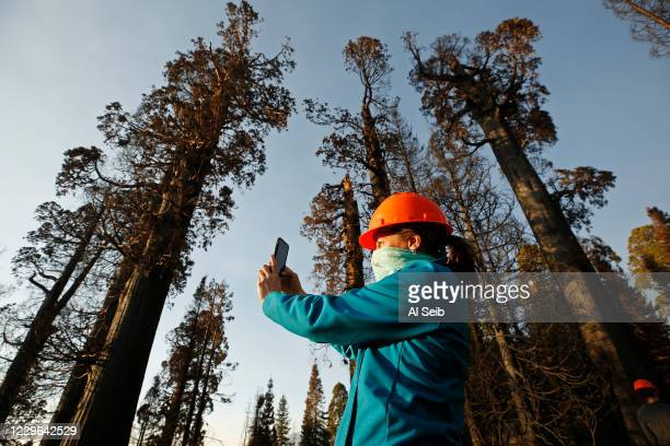 Becky Bremser, Director of Land Protection for Save The Redwoods League on the privately owned Alder Creek grove photographs some of the giant...