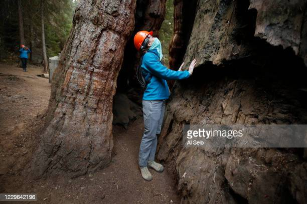 Becky Bremser, Director of Land Protection for Save The Redwoods walks through the base of the 3,000-year-old Stagg Tree, the fifth-largest giant...