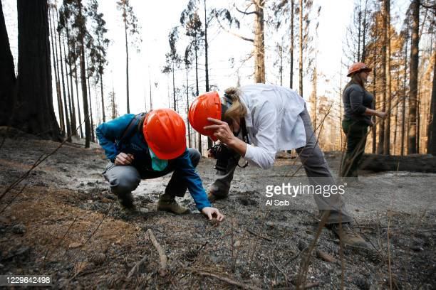 Becky Bremser, left, Director of Land Protection for Save The Redwoods League and Campaign Director Suzanne Moss, look of cones of a Sequoia - no...
