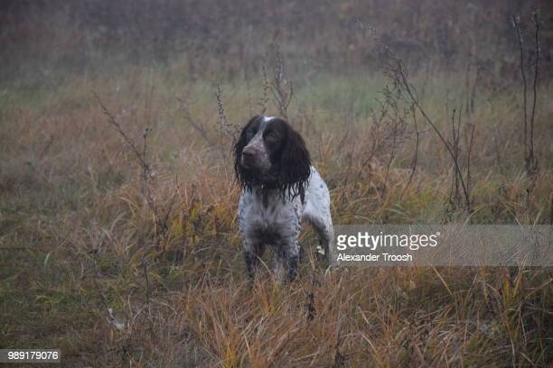 becky - english springer spaniel stock pictures, royalty-free photos & images