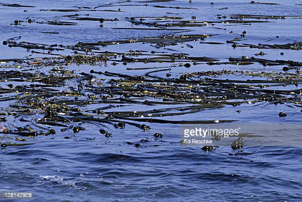 bed of bull kelp, nereocystis leutkeana, a brown alga, puget sound, washington, usa - ed reschke photography photos et images de collection