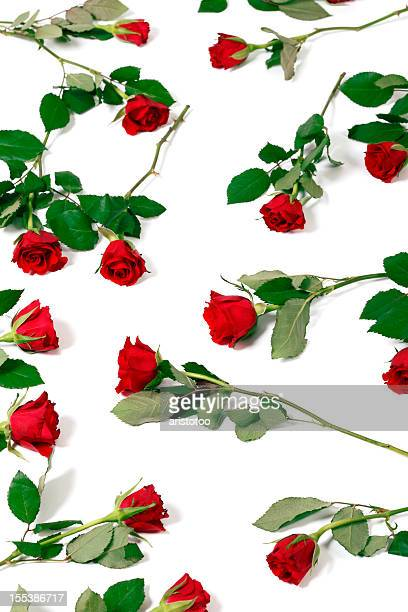 Bed of Roses on White Background