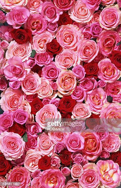 bed of roses xxlarge - pink flowers stock pictures, royalty-free photos & images