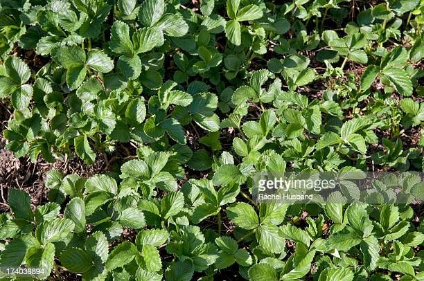 Bed of strawberry plants