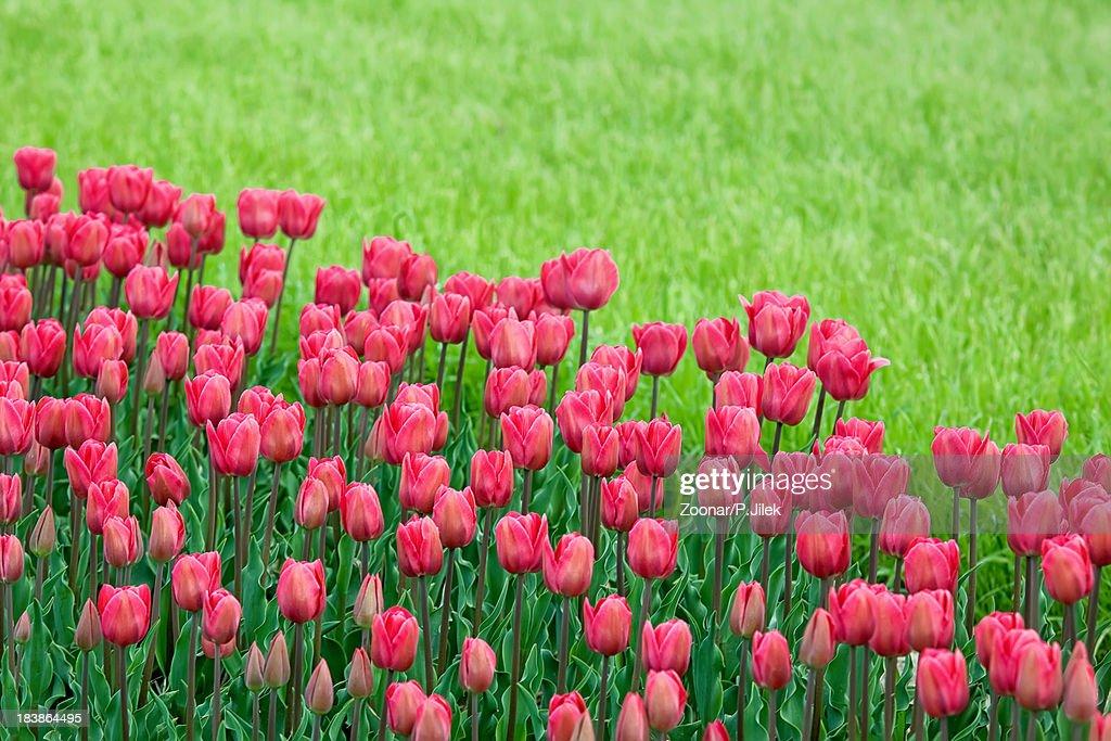 bed reds tulips in the garden : ストックフォト