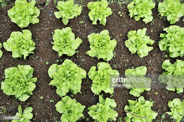 Bed with lettuce, organic farming, Petropolis, Rio de Janeiro, Brazil, South America