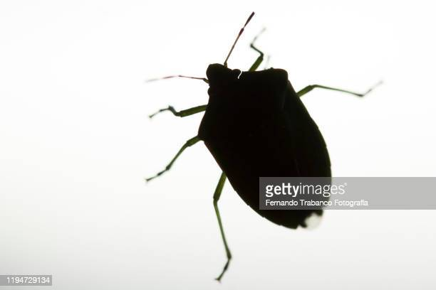 bedbug - parasite stock pictures, royalty-free photos & images