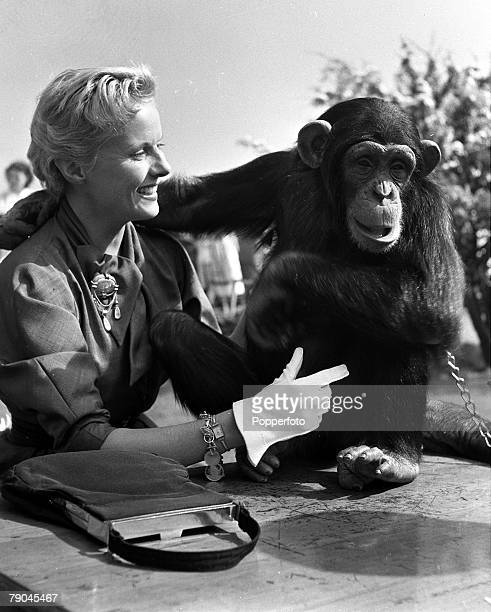 1952 Bedfordshire England British actress Anne Todd is pictured with a chimpanzee at the 21st birthday celebrations for Whipsnade Zoo