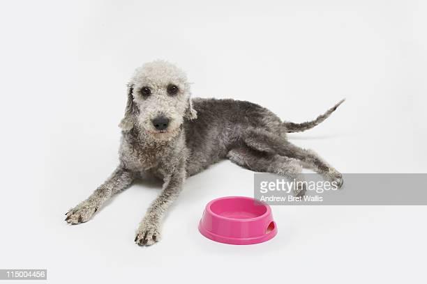 Bedlington Terrier Crufts 2013 ベドリントンテ�...