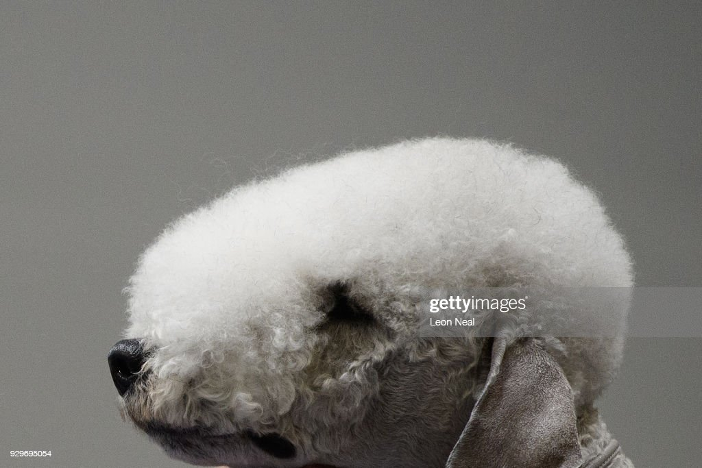 Bedlington Terrier 'Sharnor High Intensity' is groomed ahead of judging on day two of the Cruft's dog show at the NEC Arena on March 9, 2018 in Birmingham, England. The annual four-day event sees around 22,000 pedigree dogs visit the centre, before the 'Best in Show' is awarded on the final day.