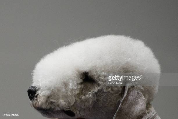 Bedlington Terrier Sharnor High Intensity is groomed ahead of judging on day two of the Cruft's dog show at the NEC Arena on March 9 2018 in...