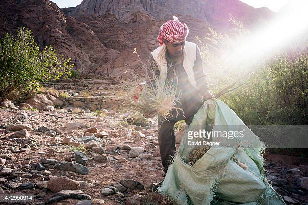 Bedouin guide who rents out his camel to carry supplies and tourists through the mountains of South Sinai on April 17 2015 near St Catherine Egypt He...