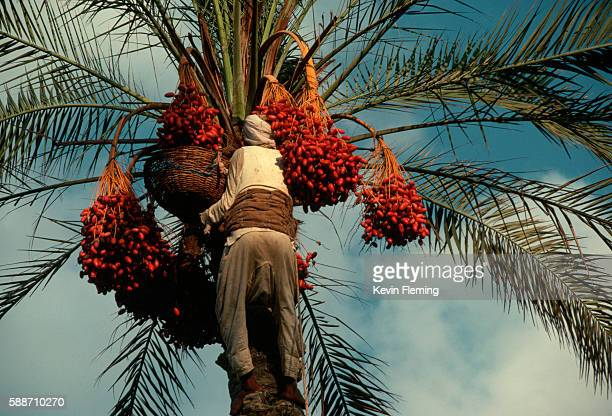 bedouin harvesting dates - date palm tree stock pictures, royalty-free photos & images