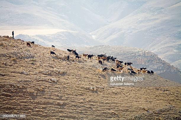 bedouin herding goats on a mountain ridge - jordanian workforce stock pictures, royalty-free photos & images