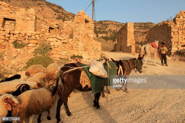 bedouin shepherd with sheep - bedouin stock pictures, royalty-free photos & images