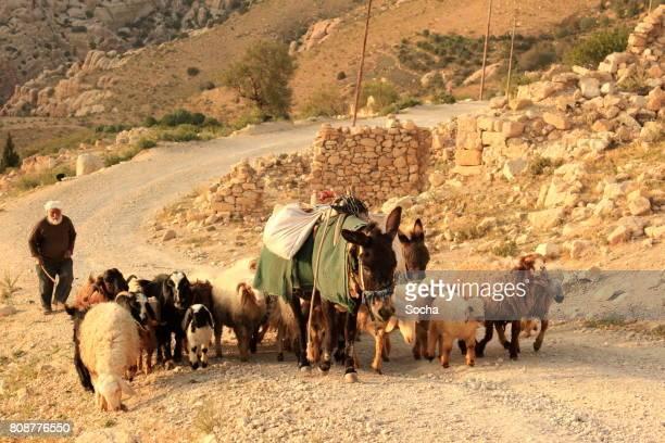Bedouin shepherd with sheep