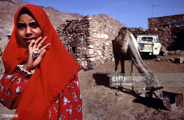 Bedouin woman feeds her camel in the Sinai Desert in Egypt. Bedouins are Arab nomadic pastoralist groups, primarily found in the Middle East, where...