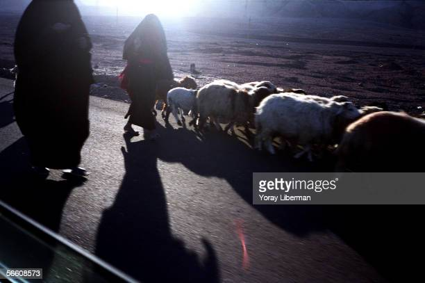 Bedouin women walks next to their sheep on January 01 2004 in Sinai Desert Egypt Weather in the southern desert of Sinai makes it an attractive...