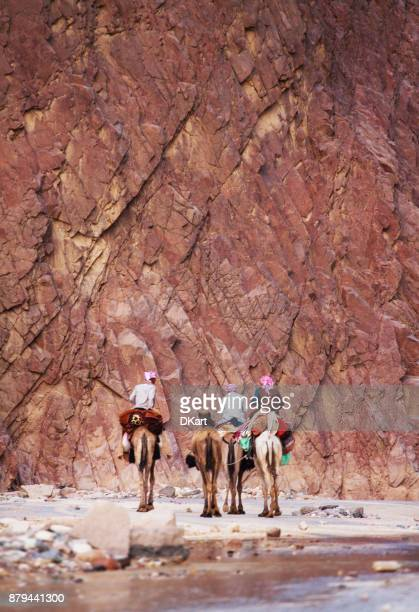 bedouins on camels in the sinai desert - sharm el sheikh foto e immagini stock